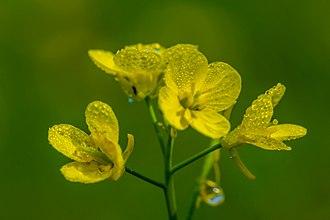 Mustard plant - Flower of Mustard Plant