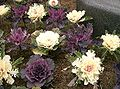 Flowering cabbage3.jpg