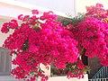 Flowers Schinokapsala.JPG