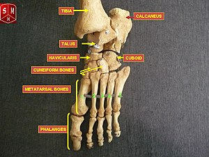 Navicular bone - Bones of the human foot, with Navicularis labeled at upper left in image.