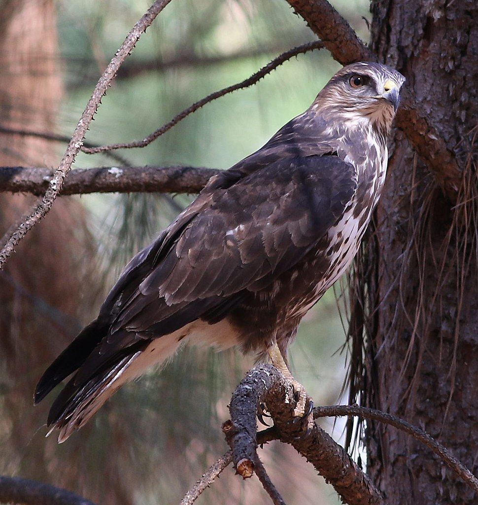 Forest Buzzard, Buteo trizonatus, at Hangklip Forest, Makhado, Limpopo Province, South Africa