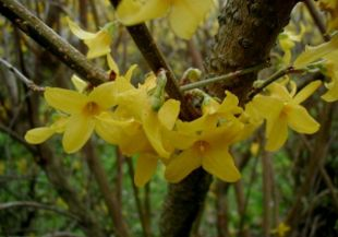 Forsythia-intermedia.JPG