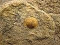 Fossiliferous sandstone (Vinton Member, Logan Formation, Lower Mississippian; Mohawk Dam emergency spillway, western Coshocton County, Ohio, USA) 3 (26621132723).jpg