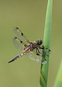 Four-spotted Chaser.jpg
