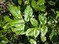 Fraxinus ornus (subsp. ornus) sl6.jpg
