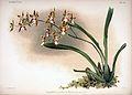 Frederick Sander - Reichenbachia II plate 94 (1890) - Odontoglossum sanderianum.jpg