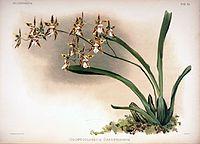Frederick Sander - Reichenbachia II plate 94 (1890) - Odontoglossum sanderianum