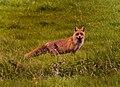 Fuchs im Pfrunger-Burgweiler Ried.jpg