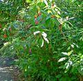 Fuchsia boliviana 1.jpg
