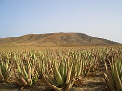Aloes  Wikipedia wolna encyklopedia  FLORA  Pinterest
