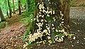 Fungus, Crawfordsburn Glen (21) - geograph.org.uk - 965747.jpg