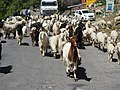 Gaddi herd of sheep and goats ,Bharmour.jpg