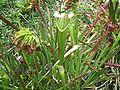 Gainesville FL Kanapaha Botanical Gardens carniv01.jpg