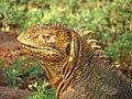 Galapagos land iguana head.jpg