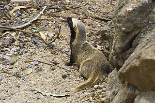 <i>Galictis</i> genus of mammals