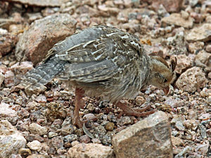 Gambel's quail - Juvenile in Arizona
