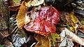 Ganoderma lucidum 102921711.jpg