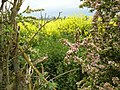Gap in the Hedge near Bunny - geograph.org.uk - 1337315.jpg