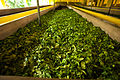 Gathered tea crops. Bogawantalawa Valley. Sri Lanka.jpg
