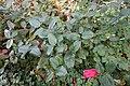 Gaultheria shallon - Regional Parks Botanic Garden, Berkeley, CA - DSC04435.JPG