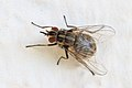 Gemeine Stechfliege Stomoxys calcitrans 0579.jpg