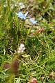 Gentiana verna PID3029.jpg