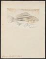 Genyoroge bengalensis - 1774-1804 - Print - Iconographia Zoologica - Special Collections University of Amsterdam - UBA01 IZ12900277.tif