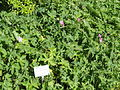 Geranium endressii - Botanischer Garten, Frankfurt am Main - DSC03192.JPG