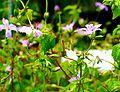Geranium nodosum ENBLA04.jpeg