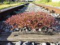 Geranium robertianum s. str. sl1.jpg