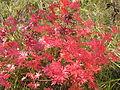 Geranium sanguineum (fall foliage) 3.jpg