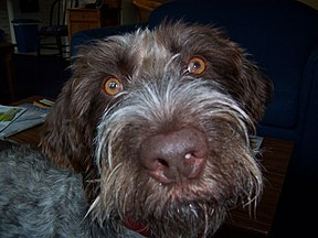 German Wirehair Pointer Image 001.jpg
