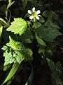 Geum canadense - White Avens.jpg