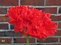 Giant Double Red Peony Poppy - Flickr - Swallowtail Garden Seeds.jpg
