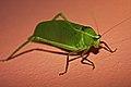 Giant Katydid (Stilpnochlora couloniana) (8575064304).jpg