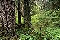 Gifford Pinchot National Forest, old growth fir (36338821534).jpg