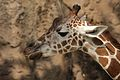 Giraffa camelopardalis at the Philadelphia Zoo 003.jpg