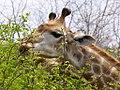 Giraffe (6290929674).jpg