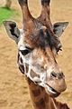 Giraffe (7152368857).jpg
