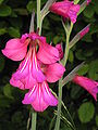 Gladiolus byzantinus05.jpg