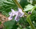 Glechoma hederacea1.jpg