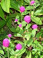 Globe amaranth (Gomphrena globosa) Buton Island.jpg