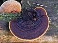 Gloeophyllum sepiarium (GB= Conifer Mazegill, D= Zaunblättling, F= Lenzite des clôtures, NL= Geelbruine plaatjeshoutzwam) white spores and causes brown rot, at Hoge Veluwe NP - panoramio.jpg