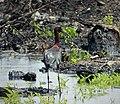 Glossy Ibis. Plegadis falsinellus (38278481572).jpg