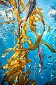 Glowing Kelp Forest (17540493521).jpg