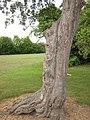 Gnarled tree - geograph.org.uk - 2420563.jpg
