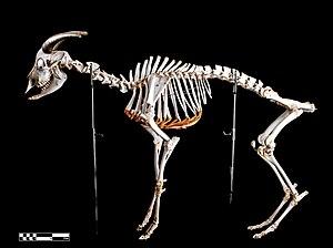 Goat - Skeleton (Capra hircus)