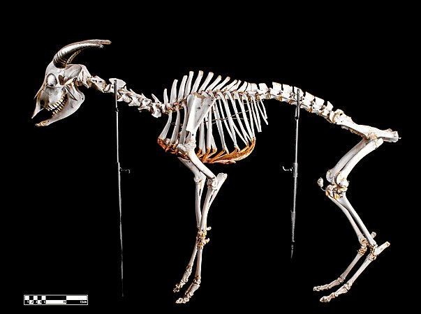 Goat skeleton.jpg
