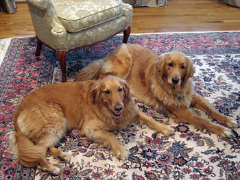 English: Two rescued Golden Retrievers