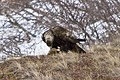 Golden eagle (13297020555).jpg